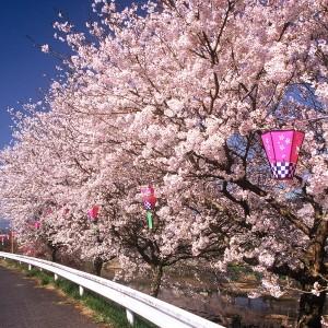 桜(榎橋公園)_haru01