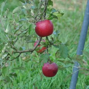 ぶどう、りんご、ラ・フランス(世羅向井農園)_2013ringo (4)