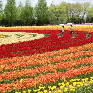 チューリップ(世羅高原農場)_tulip02
