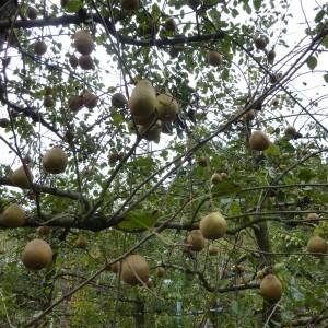 ぶどう、りんご、ラ・フランス(世羅向井農園)_mukai-lafrance-5