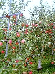 りんご(梶川りんご園)_kajikawa-apple-2