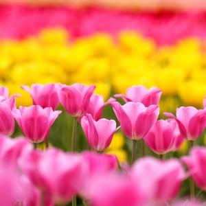 チューリップ(世羅高原農場)_tulip04