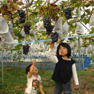 ぶどう、りんご、ラ・フランス(世羅向井農園)_mukai-grape