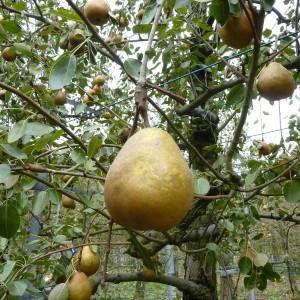 ぶどう、りんご、ラ・フランス(世羅向井農園)_mukai-lafrance-6