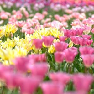 チューリップ(世羅高原農場)_tulip11