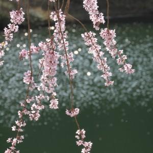 しだれ桜(世羅甲山ふれあいの里)_2013shidarezakura