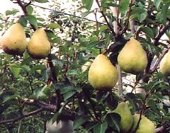 ぶどう、りんご、ラ・フランス(世羅向井農園)_mukai-lafrance-2