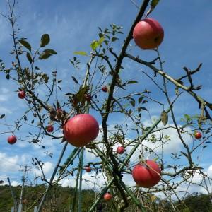 ぶどう、りんご、ラ・フランス(世羅向井農園)_mukai-apple-3
