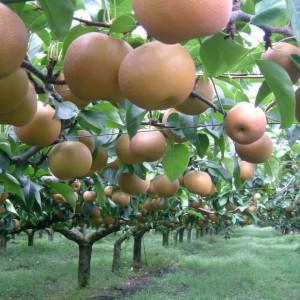梨、ぶどう(世羅大豊農園)_pear01