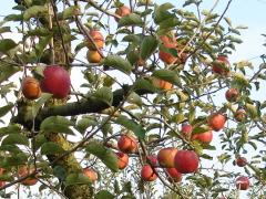 ぶどう、りんご、ラ・フランス(世羅向井農園)_mukai-apple-1