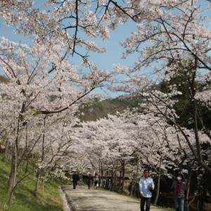 しだれ桜(世羅甲山ふれあいの里)_2013shidarezakura (2)
