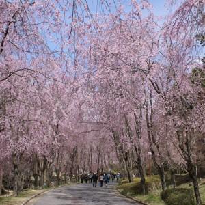 しだれ桜(世羅甲山ふれあいの里)_2013shidarezakura (5)