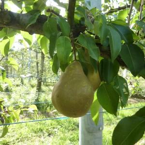 ぶどう、りんご、ラ・フランス(世羅向井農園)_mukai-lafrance-4