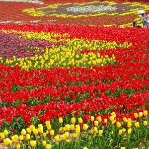 チューリップ(世羅高原農場)_tulip18