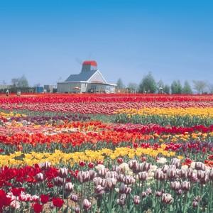 チューリップ(世羅高原農場)_tulip07