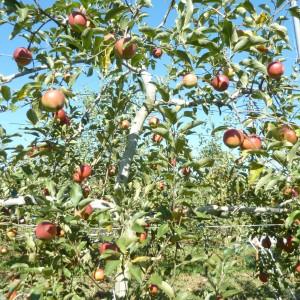 りんご(梶川りんご園)_kajikawa-apple-5