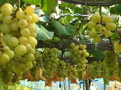 梨、ぶどう、いちご(世羅幸水農園)_kousui-grape-1