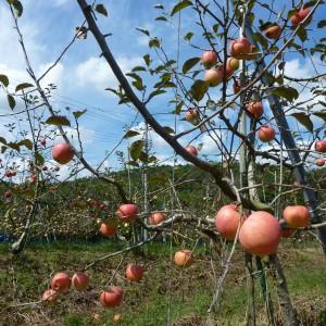 ぶどう、りんご、ラ・フランス(世羅向井農園)_mukai-apple-4