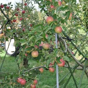ぶどう、りんご、ラ・フランス(世羅向井農園)_2013ringo