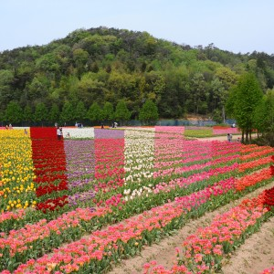 チューリップ(世羅高原農場)_tulip14