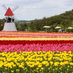 チューリップ(世羅高原農場)_tulip06