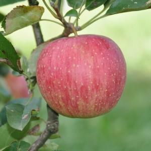 ぶどう、りんご、ラ・フランス(世羅向井農園)_2013ringo (2)