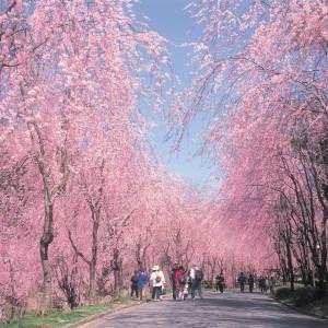 しだれ桜(世羅甲山ふれあいの里)_fureainosato2010