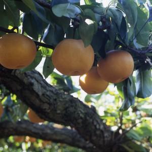 梨、ぶどう、いちご(世羅幸水農園)_kousui-pear-1