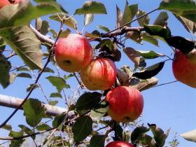 りんご(梶川りんご園)_kajikawa-apple-1
