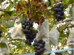 ぶどう、りんご、ラ・フランス(世羅向井農園)_mukai-grape-1
