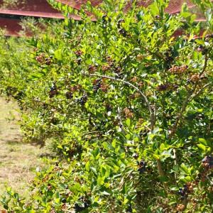 ブルーベリー(香山ラベンダーの丘)_blueberry6
