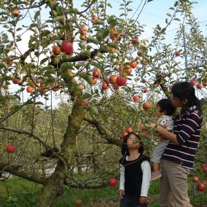 ぶどう、りんご、ラ・フランス(世羅向井農園)_mukai-apple-2