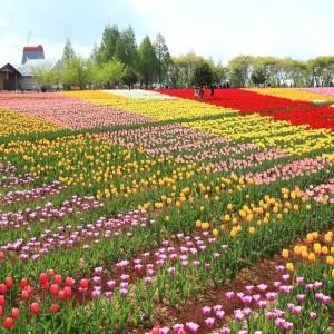 チューリップ(世羅高原農場)_tulip19