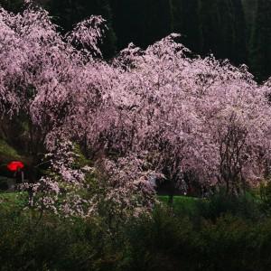 しだれ桜(世羅甲山ふれあいの里)_2013shidarezakura (3)