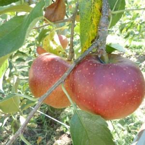 りんご(梶川りんご園)_kajikawa-apple-4