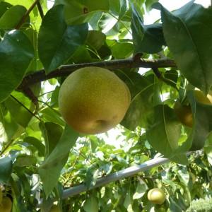 梨、ぶどう、いちご(世羅幸水農園)_2013nashi