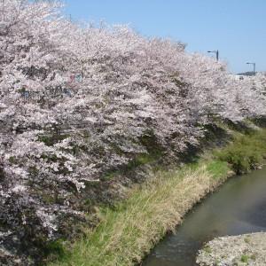桜(榎橋公園)_DSC02132