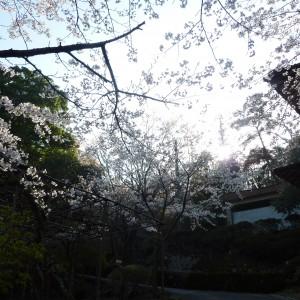 今高野山 (紅葉・桜)_imakouya sakura