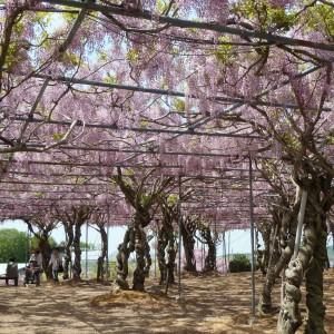ぼたん桜・ふじ(せらふじ園)_2013fuji (3)