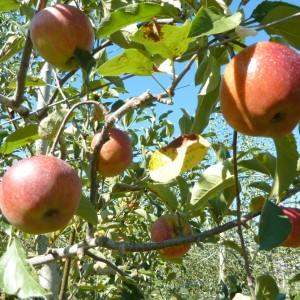 りんご(梶川りんご園)_kajikawa-apple-3