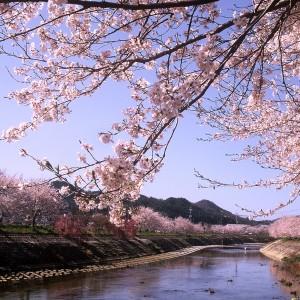 桜(榎橋公園)_haru03