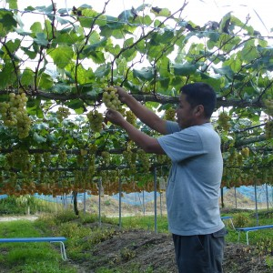 梨、ぶどう、いちご(世羅幸水農園)_kousui-grape-2