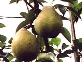 ぶどう、りんご、ラ・フランス(世羅向井農園)_mukai-lafrance-1